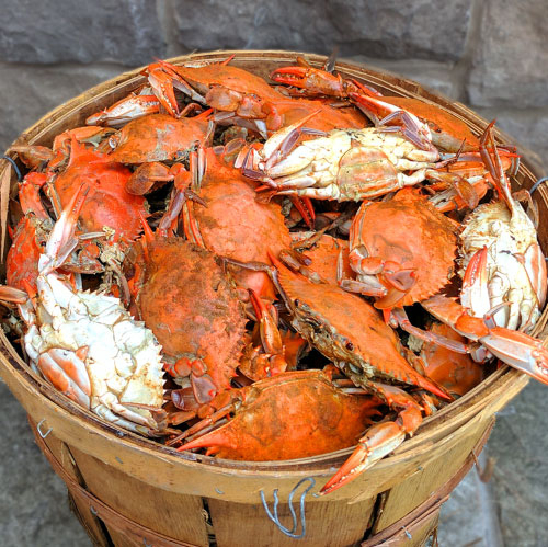 femalemarylandcrabs